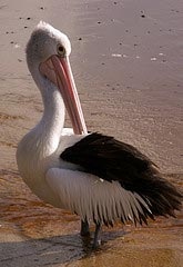 Pelican stood on the beach